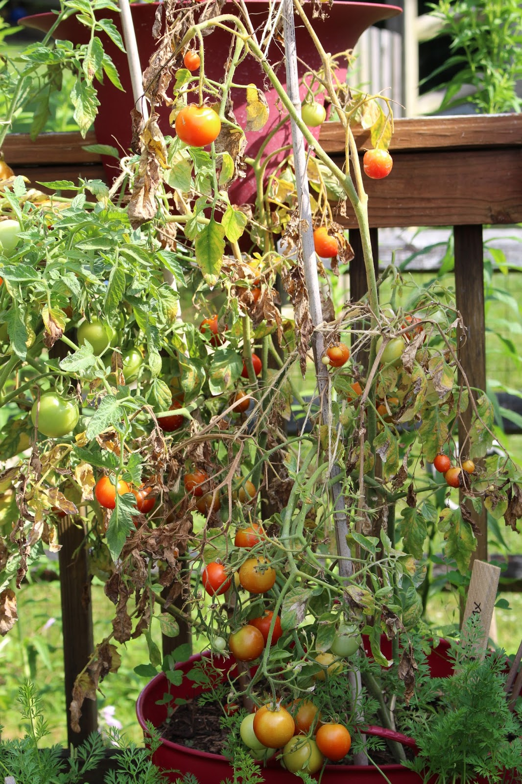 how to grow indeterminate tomatoes