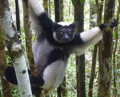 Indri - animals start with letter I