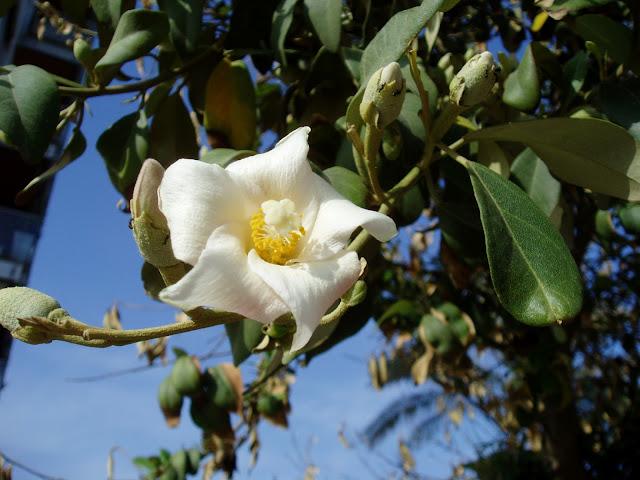 Flor de LAGUNARIA: Lagunaria patersonia