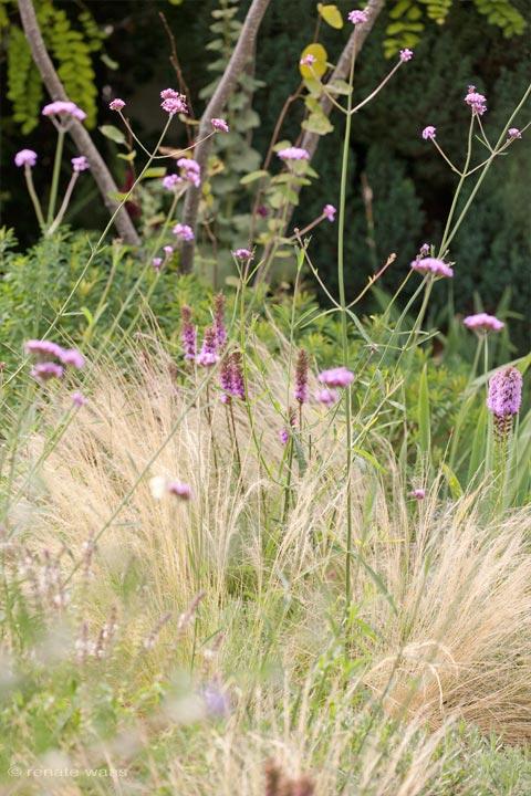 Stipa tenuissima - Federgras harmoniert gut mit Liatris spicata - Prachtscharte und Verbena bonariensis - Eisenkraut