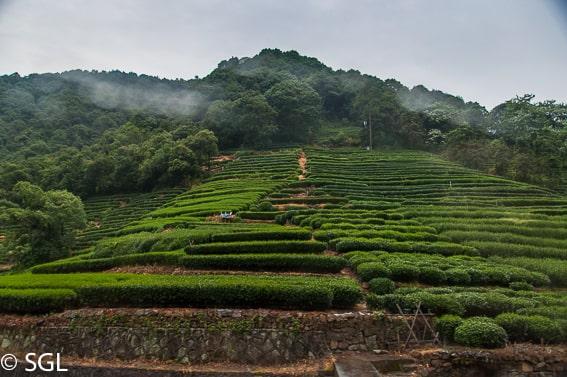 Un dia en Hangzhou. Hangzhou y su plantacion de te