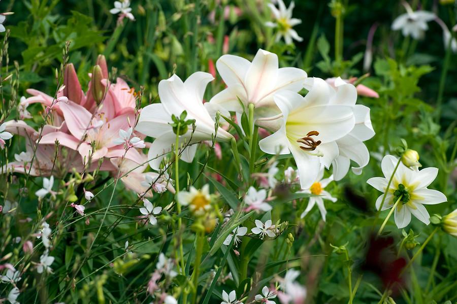 azucenas blancas y rosas