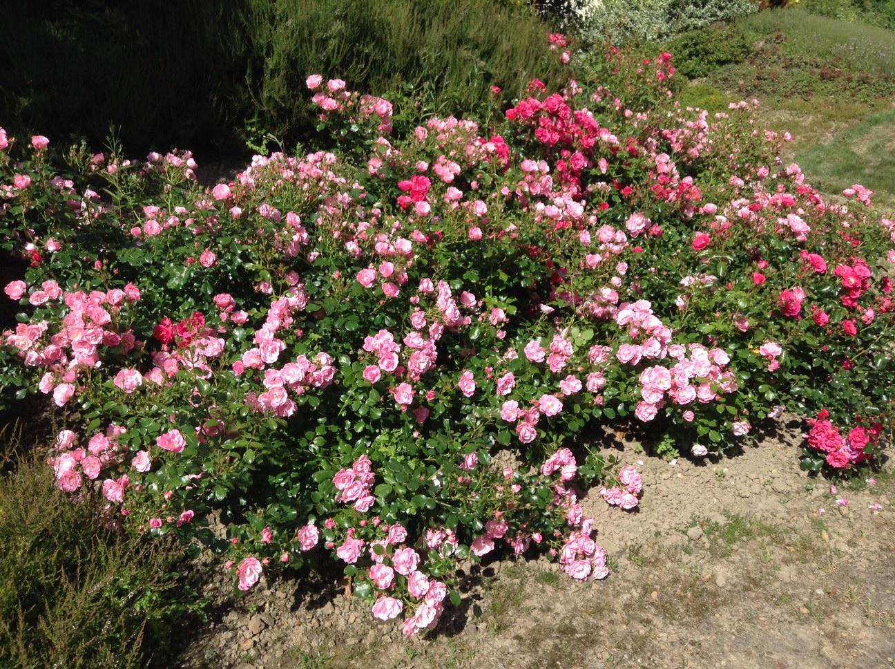 fleuriste isabelle feuvrier les rosiers couvre sol. Black Bedroom Furniture Sets. Home Design Ideas