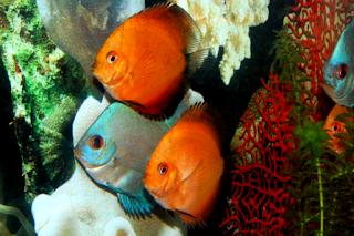 Info cara memelihara ikan jenis discus