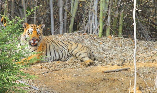 Big Healthy Matkasur Male Tiger of Tadoba