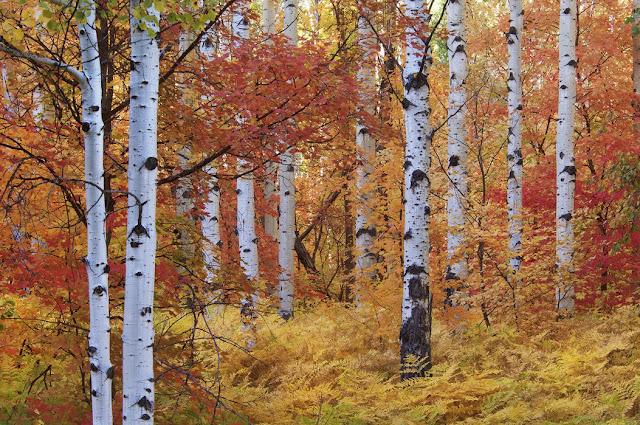 Metsä tapetti Valokuvatapetti Koivutapetti Koivu tapetti metsäaiheinen kuusimetsä maisematapetti koivunrunko