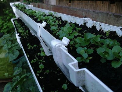 Watercress growing in a recycled gutter fixed to a garden fence