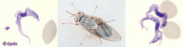 على يمين ويسار الصورة طفيليات تريبانوسوما، وفي الوسط ذبابة تسي تسي المسببة لمرض النوم