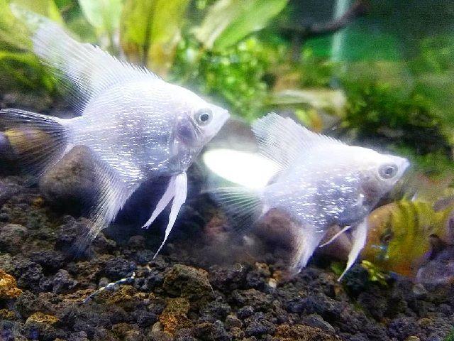 Budidaya Ikan Manfish - Pemeliharaan Benih