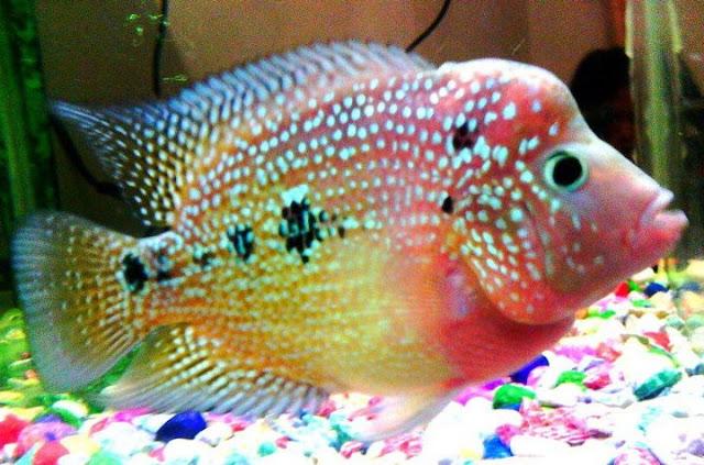 Dunia Ikan Hias - IKAN LOUHAN RAINBOW KING
