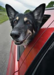 transporte de cães idosos