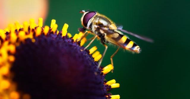 abeille sur un tournesol