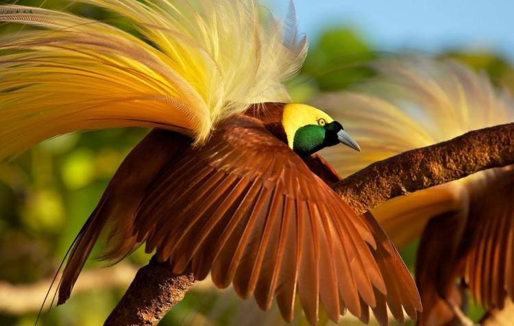 Burung Cendrawasih Goldi