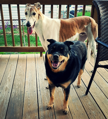 image of Dudley the Greyhound and Zelda the Black and Tan Mutt standing on Deeky's deck, grinning