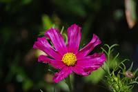 Fleur de  : Cosmos