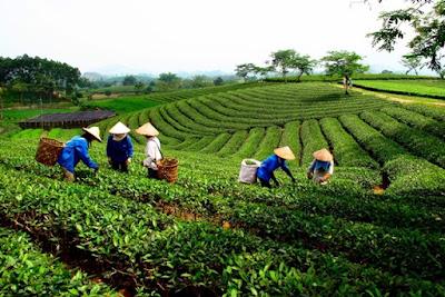 タイグエン省のお茶