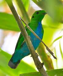 Madi hijau perut biru atau Hose's Broadbill adalah salah satu jenis burung passerin yang berukuran sedang. Panjang tubuhnya sekitar 20cm berbentuk bulat, berwarna hijau dengan dada biru