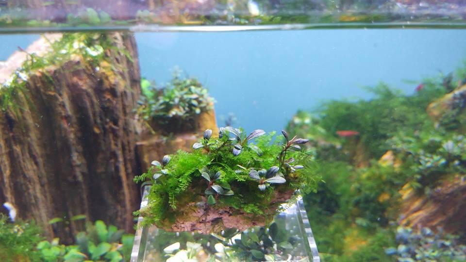 Rêu Cameroon trong hồ thủy sinh