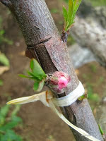 Βιοδυναμική καλλιέργεια δέντρων