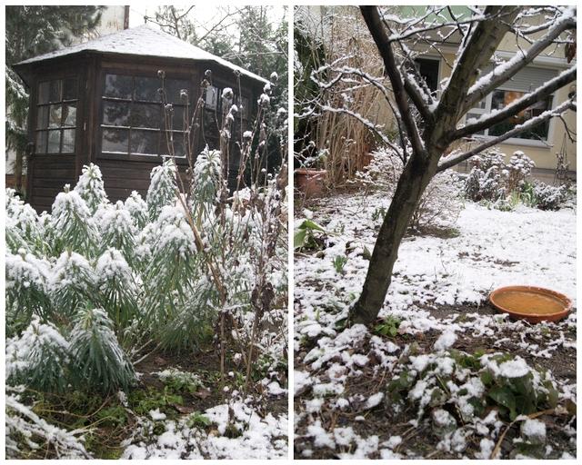 Schnee auf Palisaden-Wolfsmilch im Februar