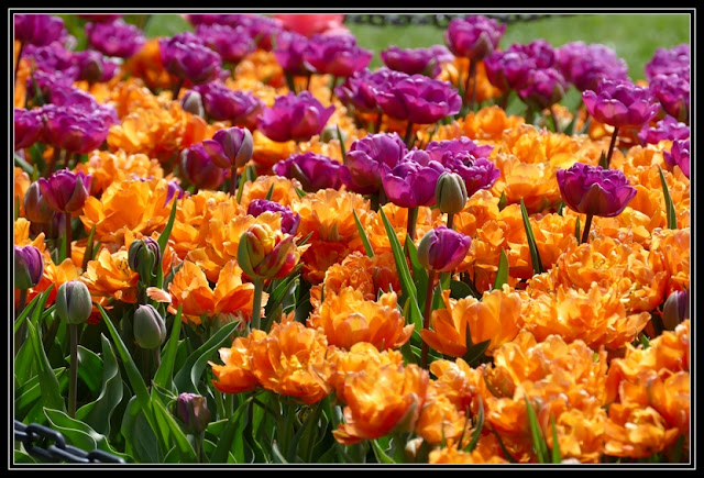 masses of tulips