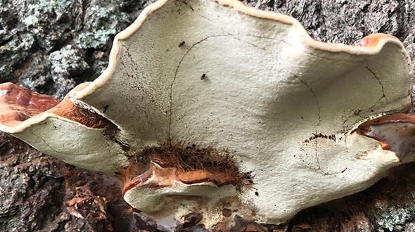 Mushroom fruiting structure and spores on tree trunks