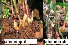 Jahe (Zingiber officinale Rosc)