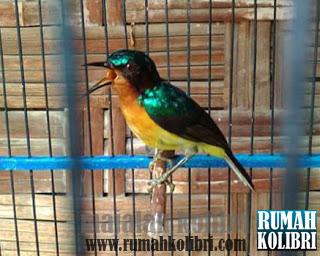 kolibri wulung gacor full narung