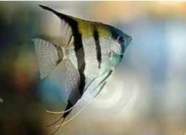 Inilah Jenis-Jenis Ikan Manfish/(Angelfish) Silver