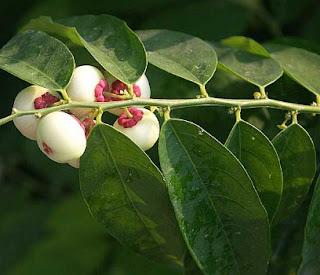 efek samping daun katuk, manfaat daun katuk bagi pria, nama lain daun katuk, cara mengolah daun katuk, manfaat daun katuk untuk rambut, nama lain daun katuk dalam bahasa jawa, manfaat daun katuk untuk wajah, pohon daun katuk