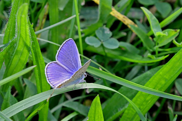 Buy artwork of Silver-studded Blue Butterfly