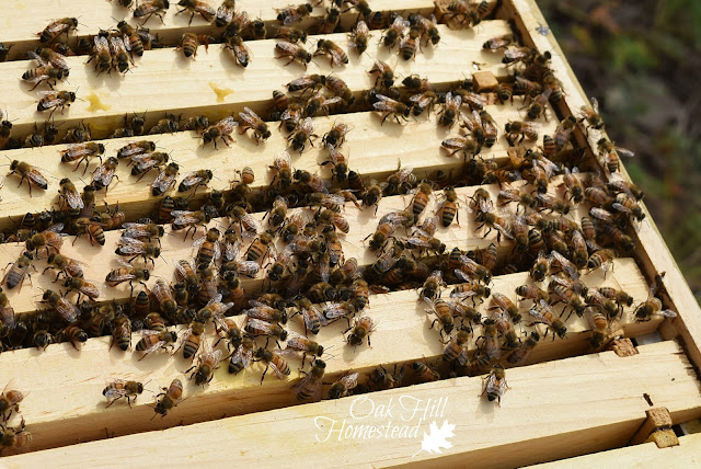 A honey bee colony on top of the hive frames.