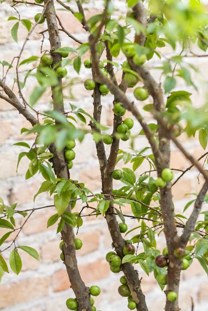 arvore-frutifera-no-quintal