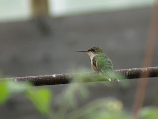 Colibri à gorge rubis - Archilochus colubris