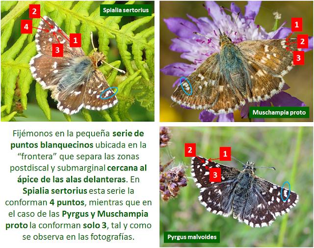 Diferencias entre Spialia sertorius, Muschampia proto y Pyrgus