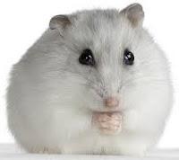 jenis-jenis hamster beserta ciri-cirinya