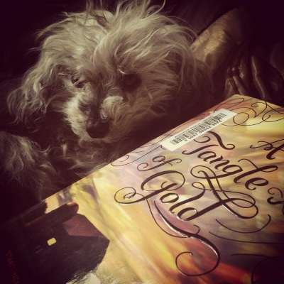 A fuzzy grey poodle, Murchie, lies behind a hardcover copy of A Tangle of Gold, his head twisted so it's parallel to the book. The book's cover features swirls of gold, blue, and purple in the sky above a red barn. The entire photo is gold-tinged.