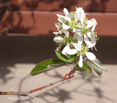 serviceberry Amelanchier alnifolia flowers
