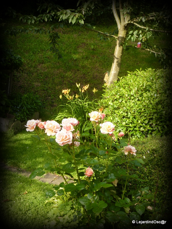 le jardin d 39 oscar mon premier rosier. Black Bedroom Furniture Sets. Home Design Ideas