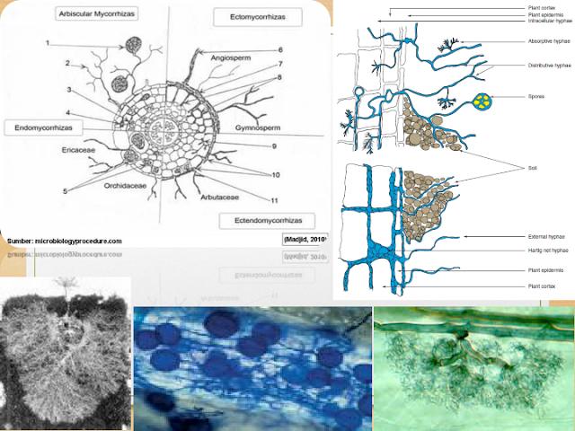 Beginilah Struktur Tubuh Mikoriza [Beserta Gambar]