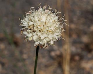 Flor blanca de escabiosa blanca (Cephalaria leucantha)