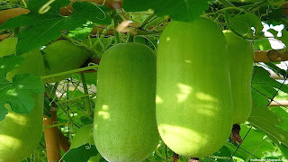 wax gourd fruit images wallpaper