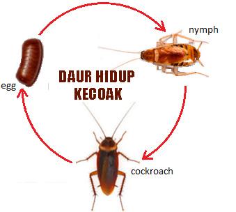 Daur hidup nyamuk katak kupu kupu kecoak dan kucing belajar 3 hewan dengan metamorfosis tidak sempurna a daur hidup kecoak ccuart Gallery