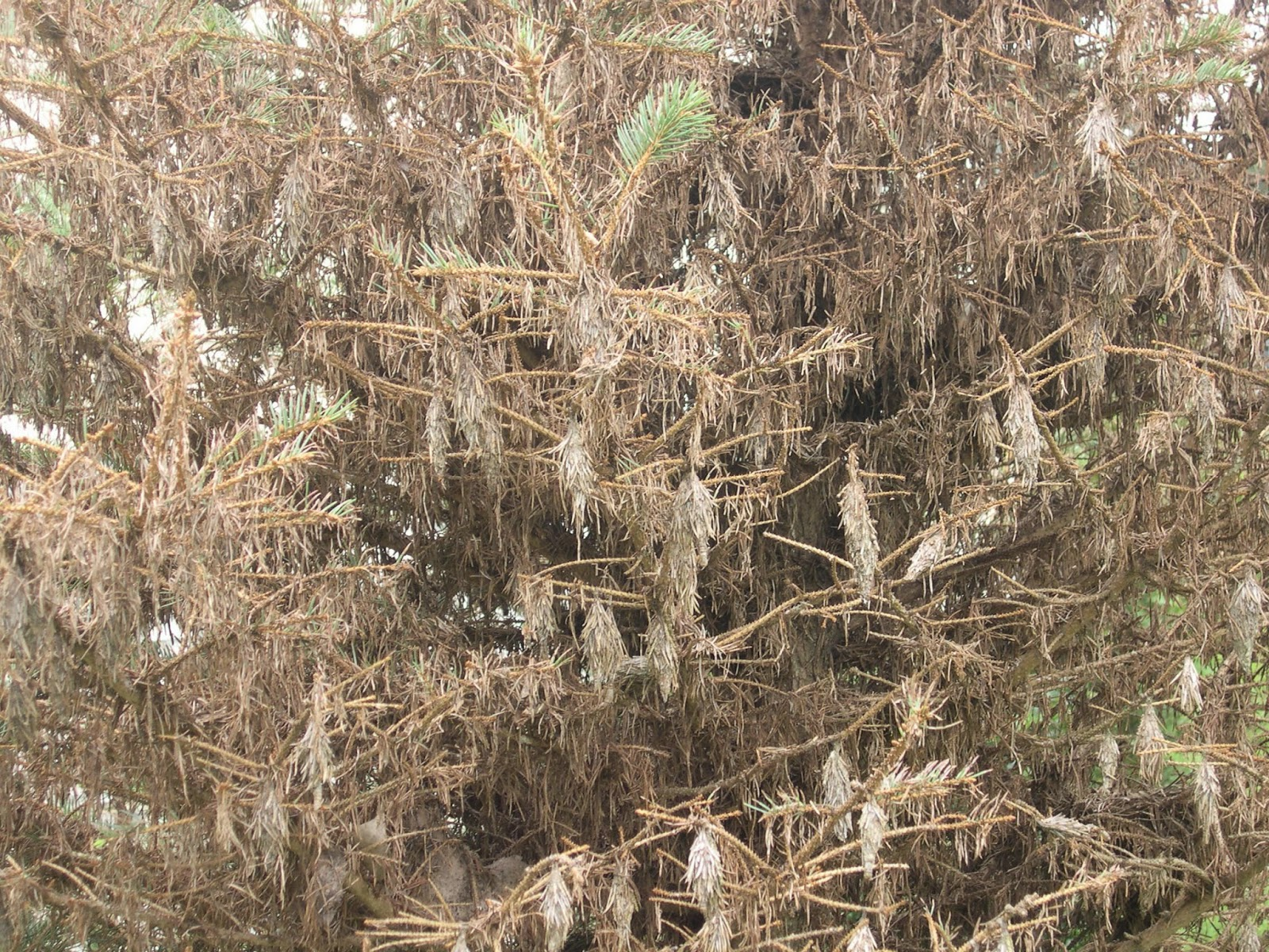 groshs lawn service bagworms on evergreen trees shrubs in hagerstown md or williamsport md. Black Bedroom Furniture Sets. Home Design Ideas