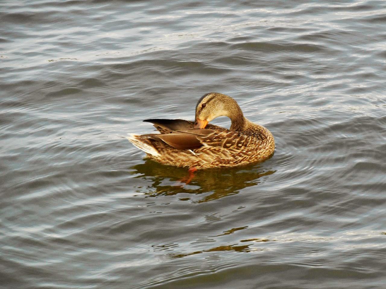 woda, ptaki wodne, krzyżówka, wypoczynek, relaks