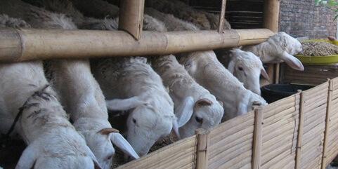Cara Meningkatkan Nafsu Makan Ternak Kambing