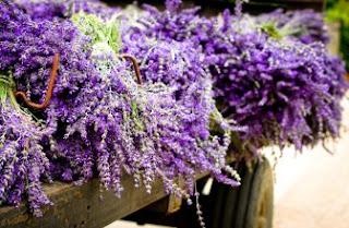 Foto Bunga Lavender Ungu yang Indah 16