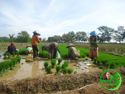 Babut / cabut benih padi. Bibit padi dari Tegalsungsang ditanam di Bakan Bandung, Subang.