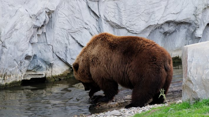 Wallpaper 2: Brown Bear of Kamchatka