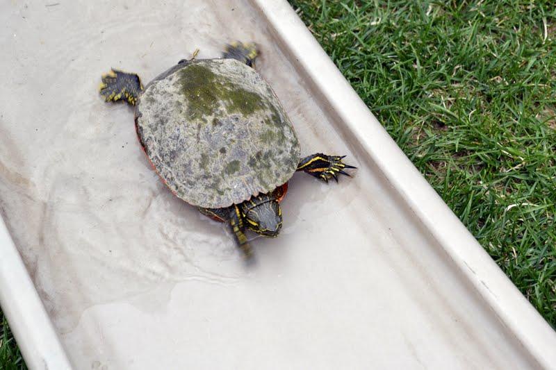 Spiritus Capere Photography: The Adventures of the Tiny Turtle
